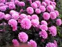 Pink Mums with Digit